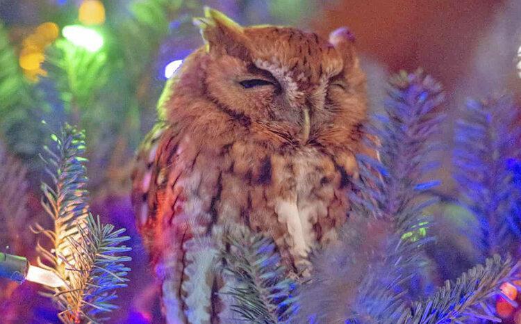 عکس روز ، جغد زنده بین شاخه های درخت کریسمس