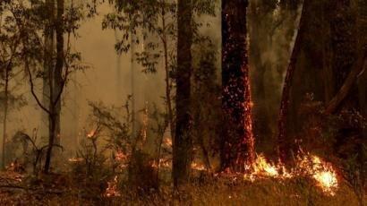 نقش درختان اکالیپتوس در گسترش آتش سوزی های جنگلی استرالیا